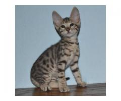 6 Beautiful F1 Savannah kittens for sale.