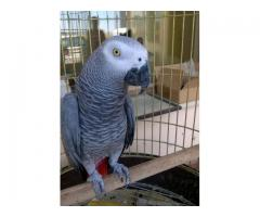 Talking Hyacinth Macaw and African grey parrots