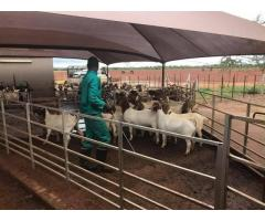 BOER GOATS FOR SALE WHATSAPP ME @ +27631521991