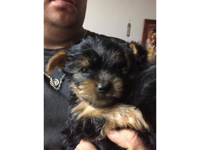 yorkies for sale - 1/3