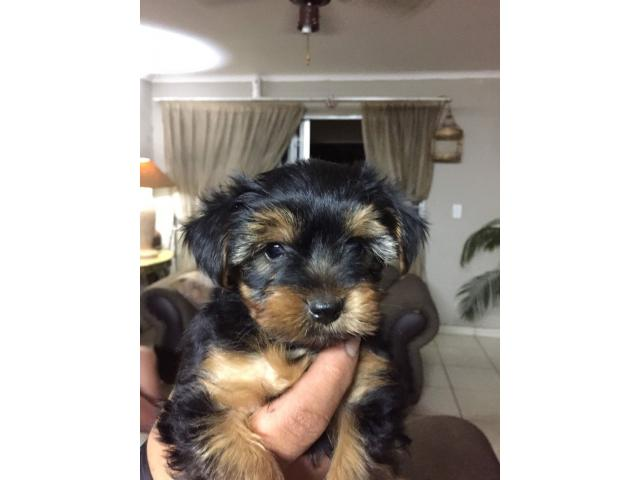 yorkies for sale - 2/3