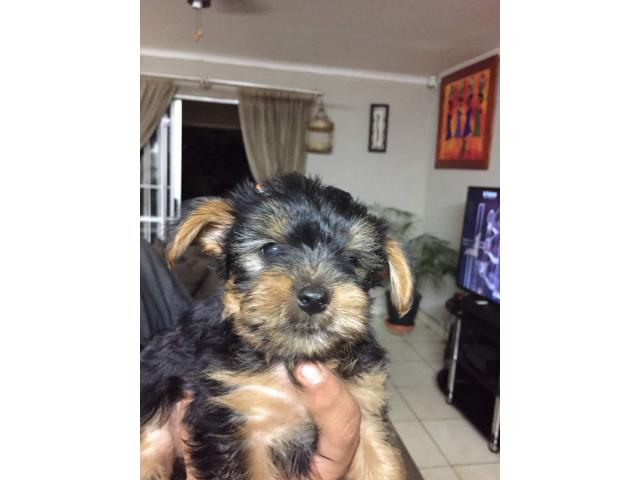 yorkies for sale - 3/3
