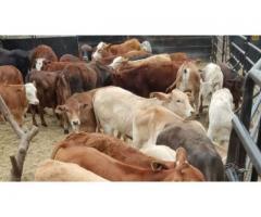 Beef weaned calves