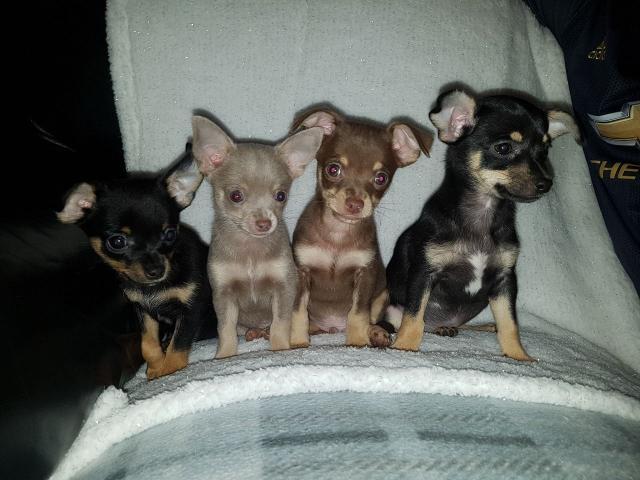 Stunning Chihuahua Puppies - 1/2