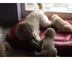 Gorgeous Golden Retriever puppies for Adoption