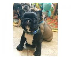 Pair of French Bull Dog Puppies for Sale