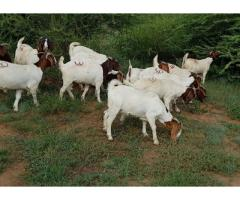 Healthy and vaccinated boer goats