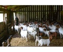 Livestocks Merino Sheep, lamb,Boer Goats and Cattle ( Steer, Cows and Calf),Chicks