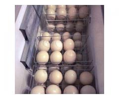 Ostrich chickens and fertile ostrich eggs for sale