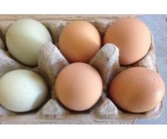 Fresh Brown/White Chicken Eggs for Sale