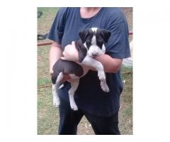 Pitbull x Bull Terrier puppies for sale
