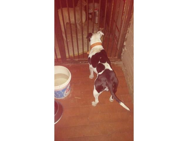 Pitbull x Bull Terrier puppies for sale - 3/4