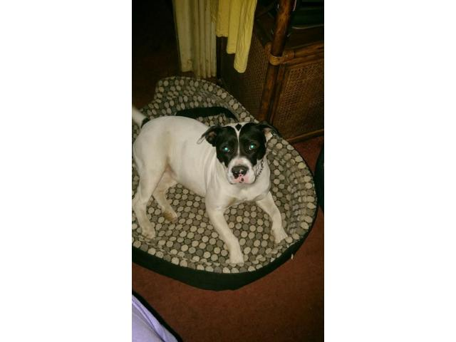 Pitbull x Bull Terrier puppies for sale - 4/4