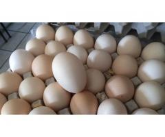 Mambo Jumbo Fresh Free Range Farm Eggs for Sale