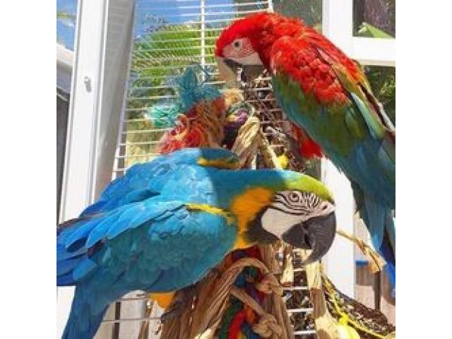 Macaws Parrots and Africa Grey,various types are available. - 1/4