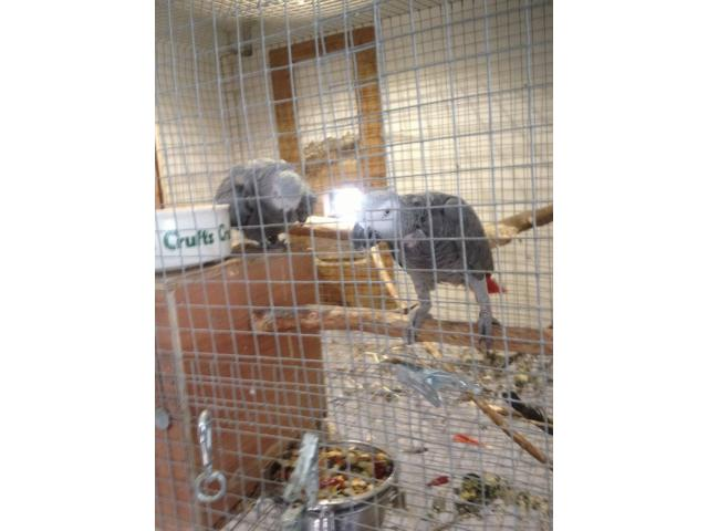 Macaws Parrots and Africa Grey,various types are available. - 3/4
