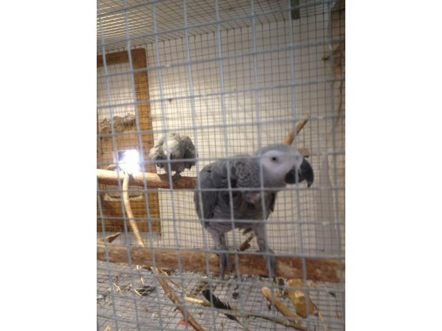 Macaws Parrots and Africa Grey,various types are available. - 4/4