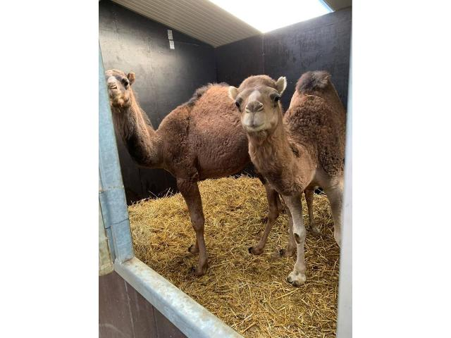 Couple of camels for sale (1 year) - 1/2