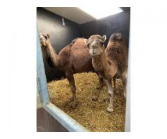Couple of camels for sale (1 year)