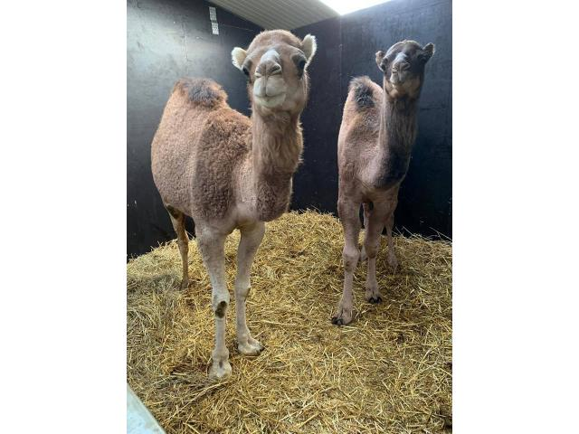 Couple of camels for sale (1 year) - 2/2