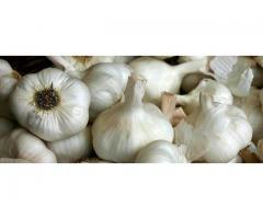 Giant Egyptian Garlics