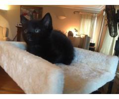 Full Pedigree Maine Coon Kittens