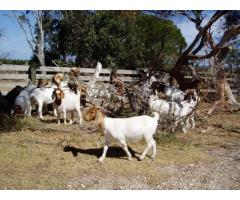 Livestock, Poultry, Frozen Chicken Parts and Animal Feed For Sale