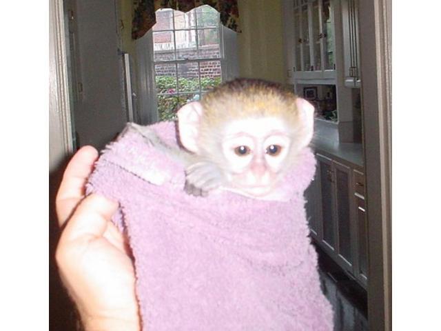 Cute Capuchin Monkeys for Re homing - 1/3
