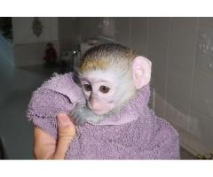 Cute Capuchin Monkeys for Re homing