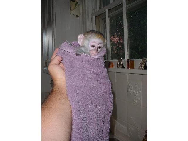 Cute Capuchin Monkeys for Re homing - 3/3