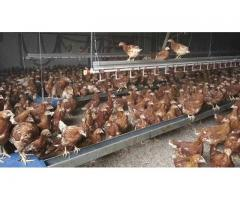 1000 Chicken Capacity Layer Cage and Layer Chickens for sale