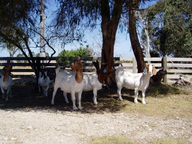 Boer Goats, Sheep And Kalahari red For Sale - 1/3