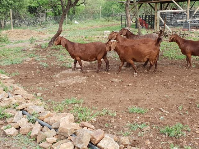 Boer Goats, Sheep And Kalahari red For Sale - 2/3