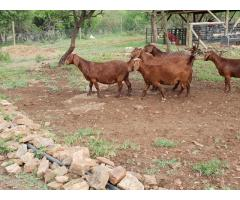 Boer Goats, Sheep And Kalahari red For Sale