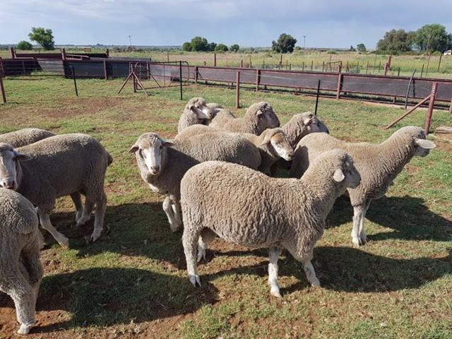 Boer Goats, Sheep And Kalahari red For Sale - 3/3