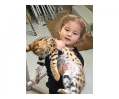Stunning F1 Savannah Kittens for Sale