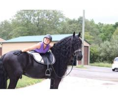 Friesians horses for sale
