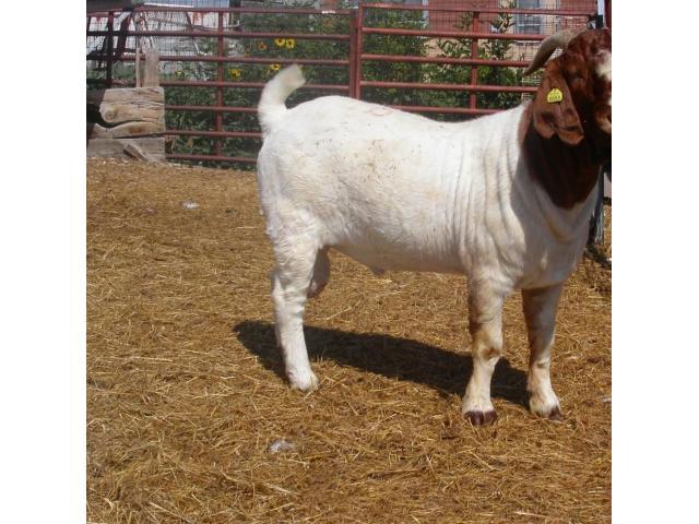 100%  Full Breed Boerebok / Boer Goats - 1/1