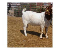 100%  Full Breed Boerebok / Boer Goats