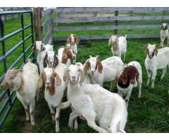 Goats! Nigerian Dwarf and Pygmies