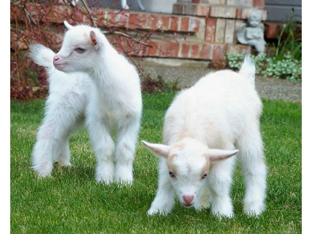 Goats! Nigerian Dwarf and Pygmies - 2/2