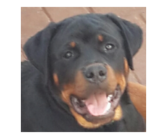 Pure Bred KUSA registered 6 Month old basic Obedience Trained Rottweilers for sale