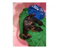 Doberman Pincher Puppies