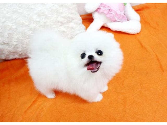 Teacup Pomeranian Puppies For Sale Class Ads