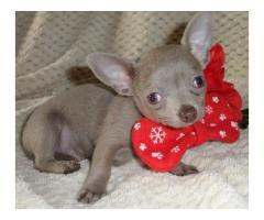 5 Full Pedigree Chihuahua Teacup Size