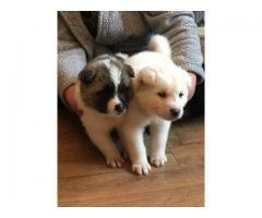 Kusa Registered Champion Bloodline Akita Puppies