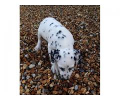 Exciting Litter Of Top Quality Dalmatian Puppies