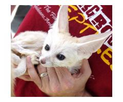Specialized in small Fennec fox available!
