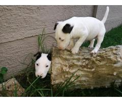 Bull Terrier Puppies for sale (Males only)