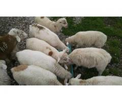 TOP QUALITY LIVE SHEEP, GOATS AND CATTLE ( STEER, COWS and CALF)